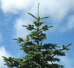 noble fir christmas trees - Types Of Christmas Trees
