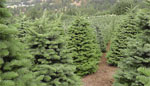 bay area christmas tree lot farms