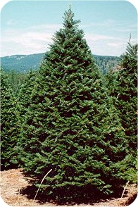 Grand Fir Christmas trees
